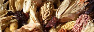 ornamental-corn-1651971_640